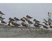 Western Sandpipers in Oregon 5x14 Photograph