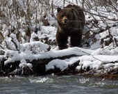 Grizzly Bear, Snow, and the Riverbank 8x8 Fine Art Photograph