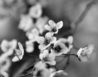 In Blossom -  Black and White Fine Art Photography