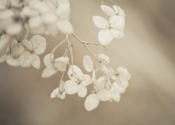 Flower Photography, Botanical Art, Nature Photography, Beige Wall Art, Garden Print, Hydrangea Prints, Slowly Fading