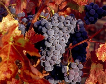 Zinfandel Grapes