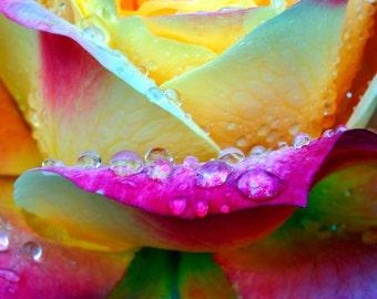 Rain drops on Rose Petals
