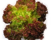 Heirloom Lollo Rossa Lettuce Seeds