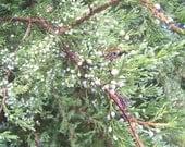Ethically Wild-Harvested Juniper berries