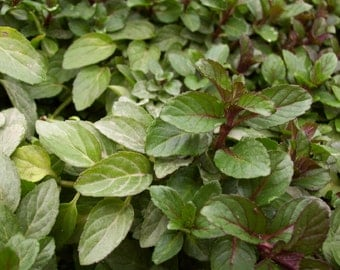 Organically Grown Dried Peppermint