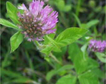 Ethically Wild-Harvested Red Clover Blossoms Spring 2017