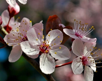 Cherry Blossoms Photograph 8x10