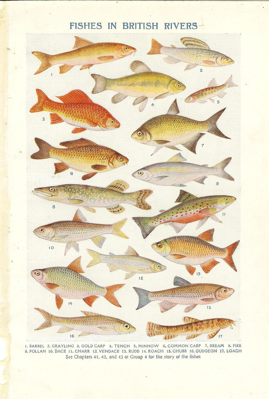 Freshwater fish england -  Zoom