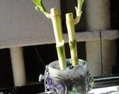 Lucky Bamboo - Sparkles