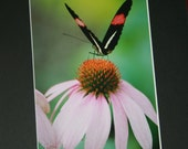 Black, White, Red Butterfly on Pink Coneflower Matted Photograph - 5 x 7 photo in 8 x 10 black mat