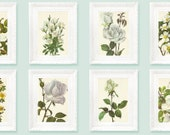 10 Vintage Botanical Prints. White Rose Illustrations. Full Color Original Book Plates. Classification Encyclopedia Specimen 1972 rbot