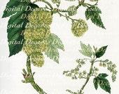 Hops Botanical Plant Beer - Digital Image - Vintage Art Illustration