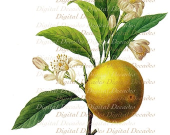 Orange Grapefruit Fruit Blossom Flowers - Vintage Art Illustration - Digital Image