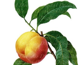 Peach Fruit Botanical -  La Peche - Digital Image Vintage Illustration
