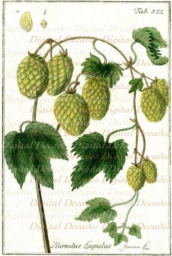 hops botanical plant beer digital image vintage art