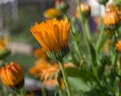 Marigold Organic Seeds, 40 - Calendula Officinalis -  Heirloom Organic Flower / Herb Seeds