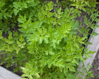 Parsley Organic Seeds, 40 - Petroselinum Crispum - Heirloom Organic Herb Seeds