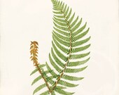 Antique Fern Art Print - 8x10 - Natural History - Aspidium Angulare