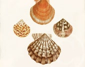 Vintage Shell Print  - 8 x 10 - Natural History - Pecten - 1001treasures