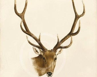 Antique Deer Art Print - 8x10 - Stag