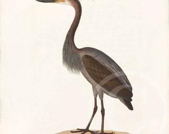 Antique Bird Art Print - 8x10 - Natural History - Heron
