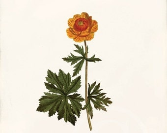 Antique Botanical Art Print - 8x10 - Trollius Asiaticus