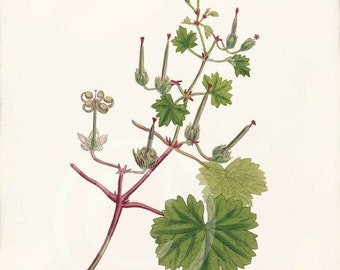 Vintage Botanical Print - 8x10 - Geranium Rotundifolium - Round-Leaved Cranes Bill
