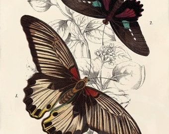 Beautiful Antique Butterfly Print - 5 x 7 - Iliades Agenor, Parides Aeneas