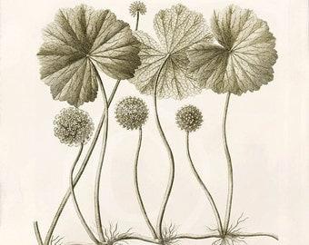 Sale Antique Botanical Art Print - 8x10 - Hydrocotyle globiflora