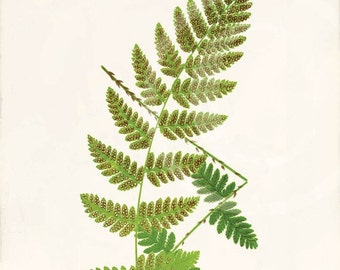 Antique Fern Art Print - 5x7 - Aspidium Cristatum