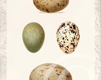 Antique Bird Egg - Art Collage Print - Natural History - Bird Eggs