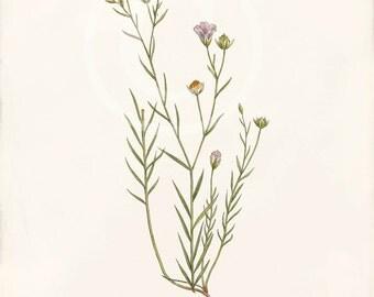 Vintage Botanical Print - 8x10 - Linum Angustifolium - Narrow-Leaved Flax