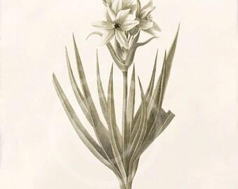 Antique Botanical Art Print - 8x10 - Ornithogalum corymbosum
