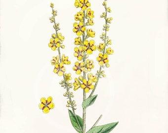 Vintage Botanical Print  - 8x10 - Mulleins