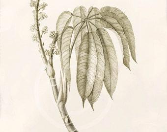 Antique Botanical Art Print - 8x10 - Actinophyllum acuminatum
