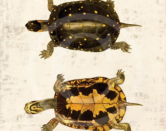 Antique Turtle Art Print - 8 x 10 - Spotted Turtle