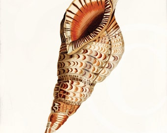 Antique Sea Shell Fine Art Print - 5 x 7 - Triton's Trumpet