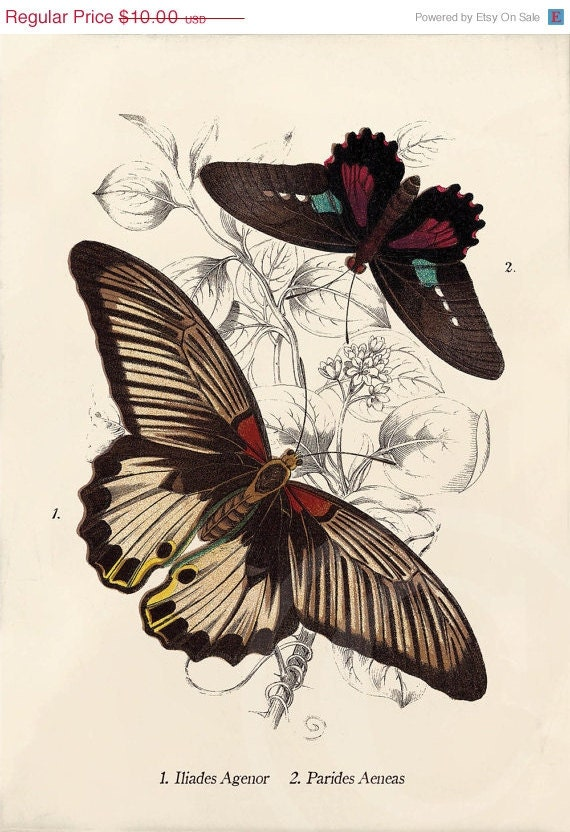 Beautiful Antique Butterfly Print - 5 x 7 - Iliades Agenor, Parides Aeneas