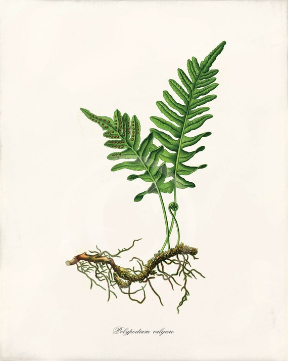 Fern Pictures Art to Antique Fern Art Print