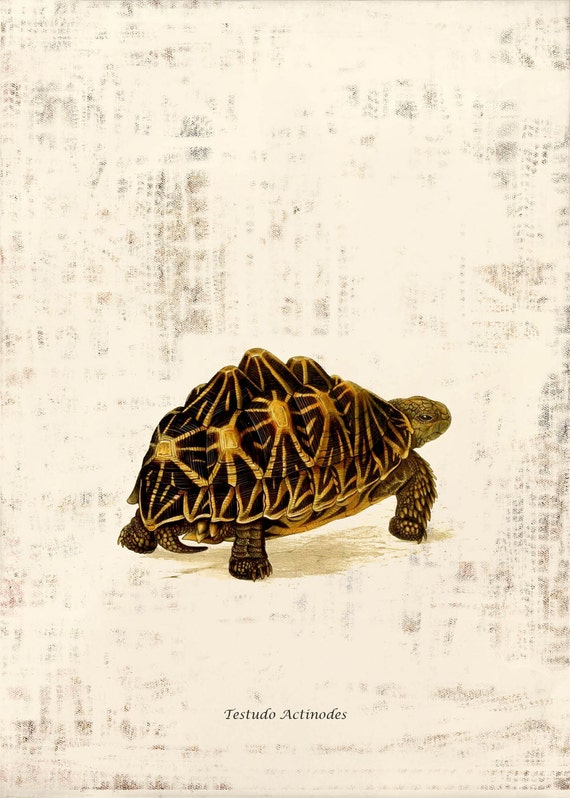 Antique Turtle Art Print - 5 x 7 - Testudo Actinodes