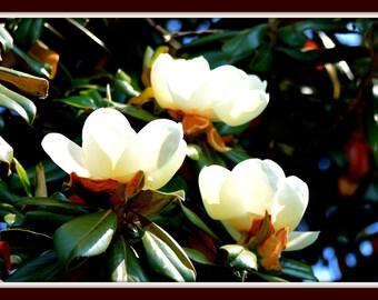 Magnolia Art print, magnolia tree modern art, white flowers print, macro magnolia, white flower, close-up magnolia bloom,  Nature, 8 x 12''