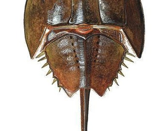 Horseshoe Crab Study 1 in Watercolor. Signed print by Damon Crook (for 11 x 14 frame)
