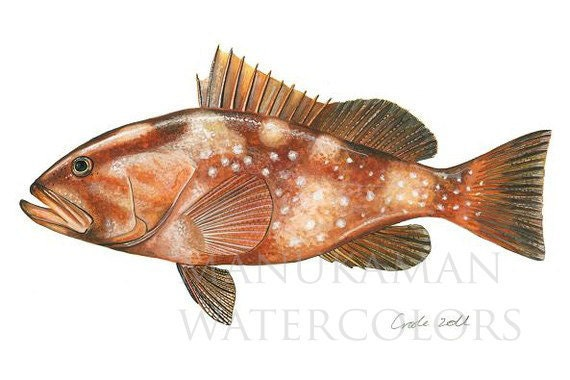 Print of a Red Grouper Fish (watercolor) by Damon Crook (11 x 14)