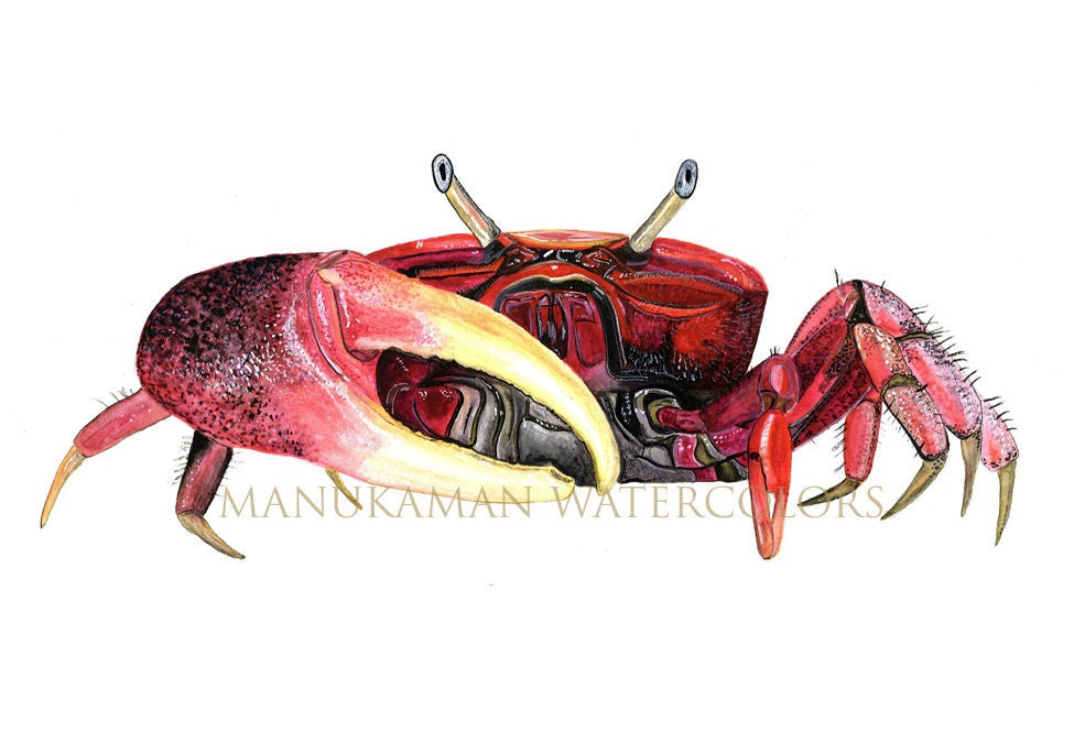 Fiddler Crab Drawing Fiddler Crab Watercolor Print