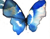 blue butterfly with white striped wings