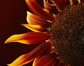 Sunflower Photo , Late Summer's colors home decor, wall decor, cottage decor