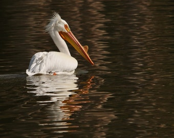 American White Pelican Photo, In Dreamy waters, Home decor, Wall decor, Bird decor, Nature photography, Beach, Wildlife photo