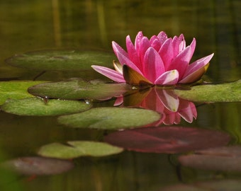 Water Lily in Spring Photo, wall decor, home decor cottage decor