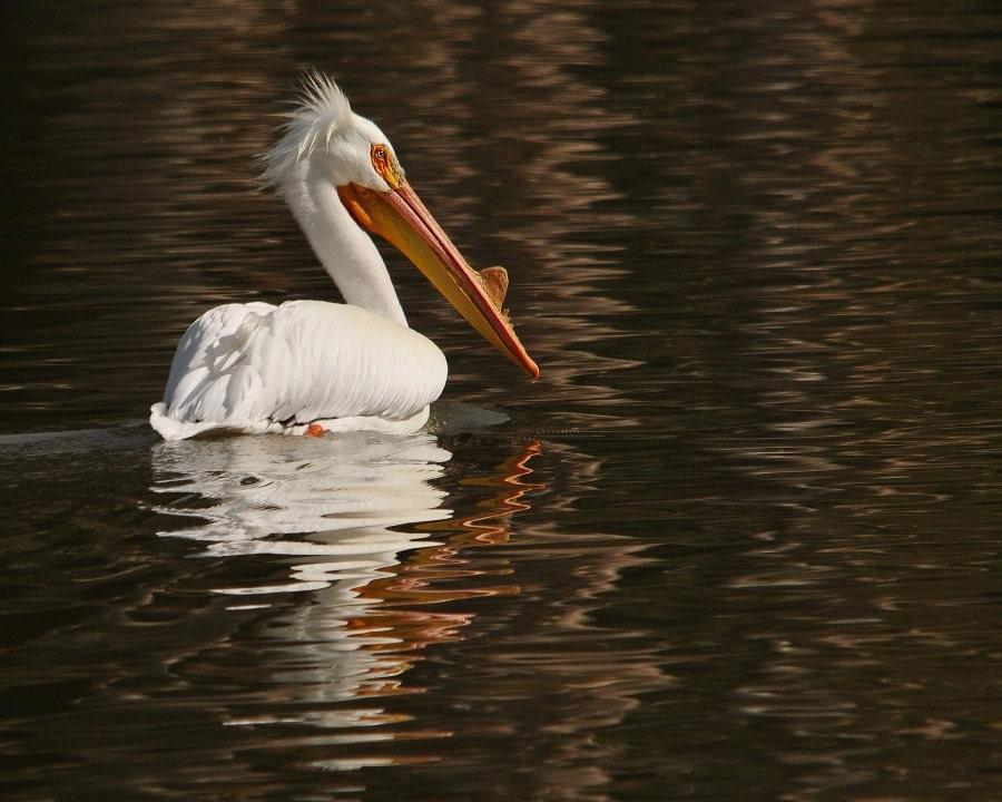 American White Pelican Photo In Dreamy Waters Home Decor