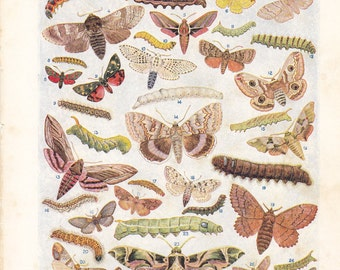 Vintage book plate from 1928, European Moths and Caterpillars/Some Extraordinary Beetles
